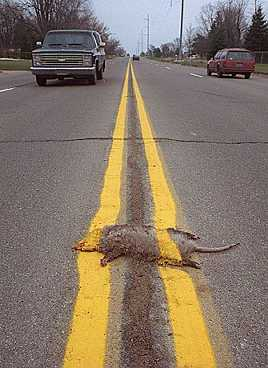 Painted road kill