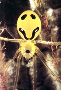The smiley spider